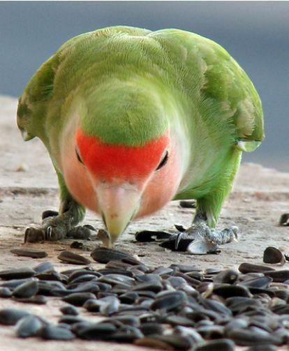love-bird-eating-seeds-by-irin-smith